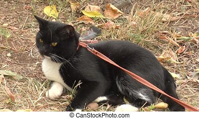 Cat black and white color walks autumn afternoon