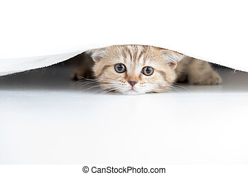 Funny cat looking from under white curtain - Funny cat...