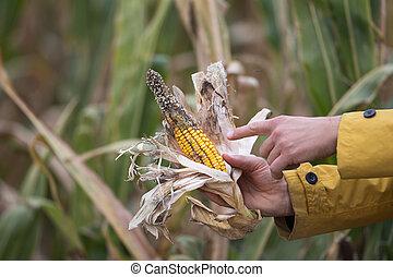 milho, doença, segurando, agricultor
