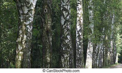 Alley with birch trees in a park. Alley of birch trees and...