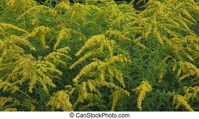 Yellow Solidago virgaurea flower in summer garden
