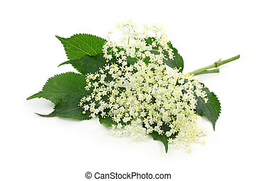 Sambucus nigra or elder isolated on white background