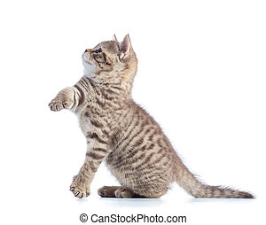 Cute cat kitten standing profile side view over white...