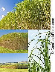 switch grass - The renewable resource switchgrass for...