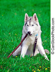 Siberian Husky - Portrait of a young blue-eyed Siberian...