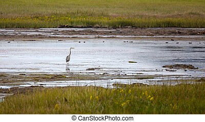 Great blue heron in the marshes of New Brunswick, Canada.