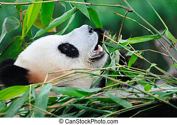 Giant panda - A giant panda lying on the ground and eating...