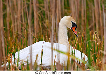 Wild Mother Swan Sits On Nest Protecting Her Eggs And...
