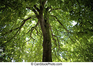 horse chestnut tree seen from underneath its canopy to the...