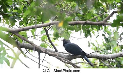 Bird (Asian koel, Eudynamys scolopaceus) on a tree - Bird...