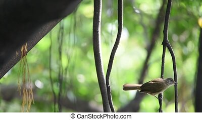 Bird (Streak-eared bulbul) on a tree - Bird (Streak-eared...