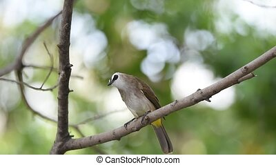 Bird (Yellow-vented Bulbul) on a tree - Bird (Yellow-vented...