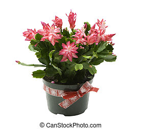 pink blooming christmas cactus on a white background
