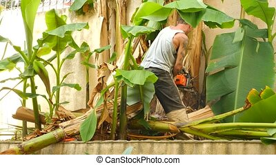 A muscular man cuts a thicket of banana palm with a chain...