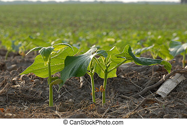 Early summer soy bean plants in field in south western...