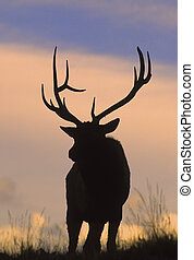 Bull Elk in Sunrise