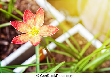 Zephyranthes Rosea flower - Beautiful yellow pollen and pink...