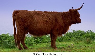 Galloway Cow, Scottland - Graded Version - Graded and...