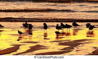 Flock Of Seagulls At Scottish Beach - Graded Version -...