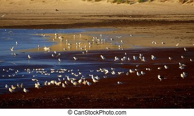 Flock Of Seagulls At Scottish Beach - Graded Version -...