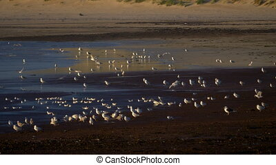 Flock Of Seagulls At Scottish Beach - Native Version -...