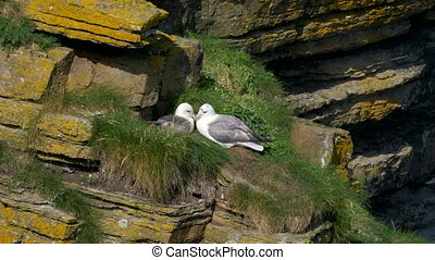 Seagulls Nest At John O' Groats, North Of Scotland - Native...