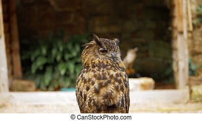 Eagle Owl At Dunrobin Castle, Scotland - Graded Version -...