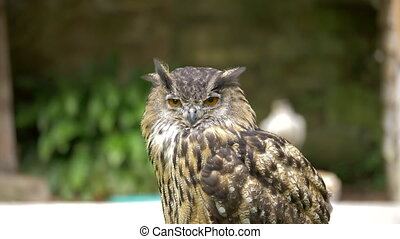 Eagle Owl At Dunrobin Castle, Scotland - Native Version -...