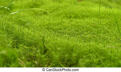 Moss Background Texture. Green moss texture background....
