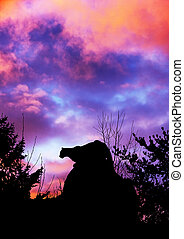 Cougar stalking and sunset - Silhouette of cougar stalking...