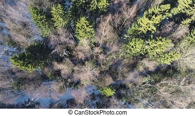 Spruce and bare birches in winter mixed forest, aerial view...