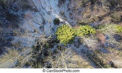 Aerial shot of winter forest - Aerial view of bare birches...