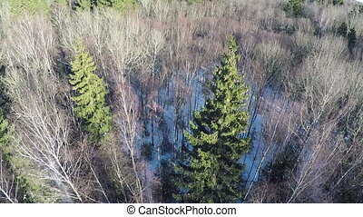 Bare birches and high green spruce trees in winter wood,...