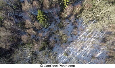 Flying over winter mixed forest with fir trees and birches -...