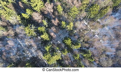 Fir trees and bare birches in winter forest, aerial - Aerial...