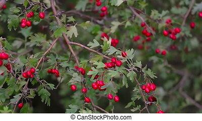Close up of ripe hawthorn berries (Crataegus monogyna) in...