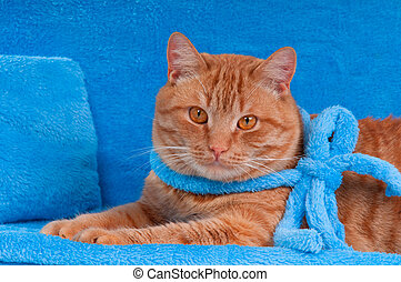 Cat on a sofa - Cat with blue ribbon is having a rest on a...