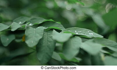 Dew drops on the leaves in the forest - close up of Dew...