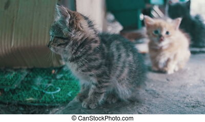 Little Gray and White Stray Kitten Looks into the Camera -...