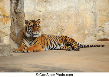 Tiger Laying Down - Tiger shot taken at the San Antonio Zoo