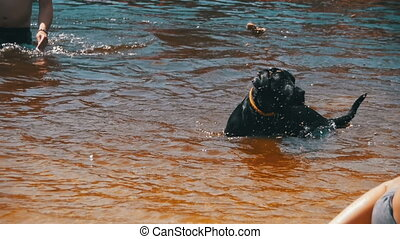 Big Black Dog Swims in the River with People. Slow Motion in...