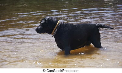 Big Black Dog Play and Swims in the River. Slow Motion - Big...