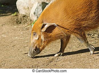 The Red River Hog or Bush Pig (Potamochoerus porcus)