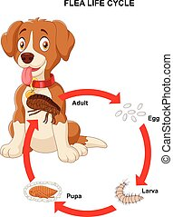 Vector illustration of life cycle of flea