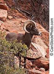Desert Big Horn Ram Sheep in Utahs Zion National Park
