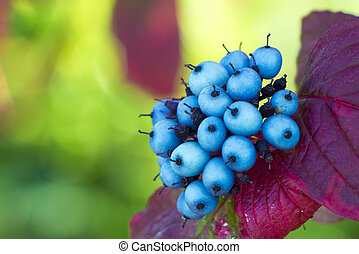 Small Blue Berries - Small blue berries and purple and pink...