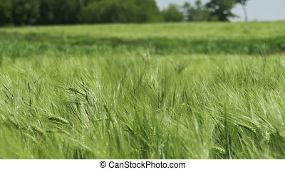 Young Green Wheat and Spikelets in a Field - Young Green...
