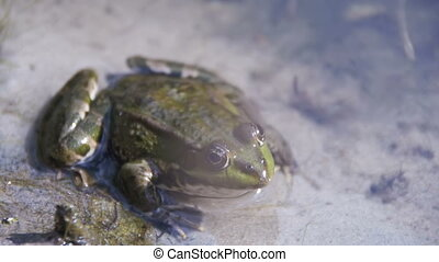 Green Frog Sitting on a River Bank in Water. Slow Motion in...