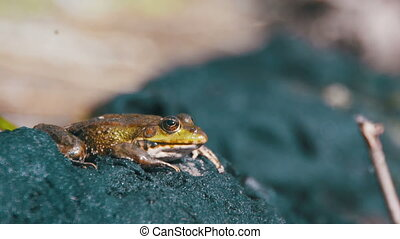 Green Frog Sits on the Shore near the River. Close-up. The...