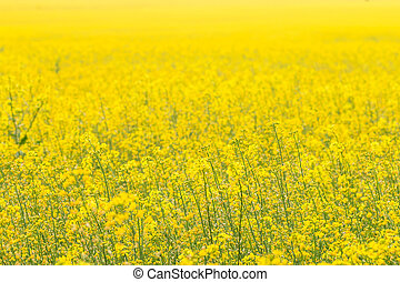 Rapeseed field (Brassica napus) Yellow flowers in the...